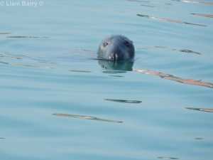 This seal was keeping an eye on me in Dingle Harbour